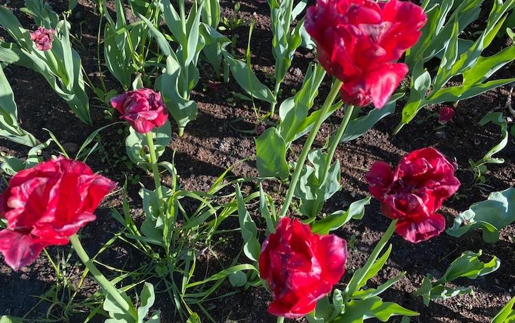 Когда обрезать тюльпаны после цветения в открытом грунте