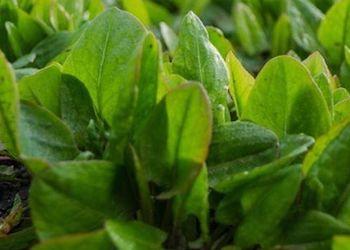 В чем польза щавеля для огорода и здоровья?