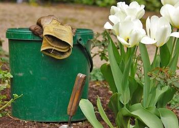 5 ошибок при посадке луковиц тюльпанов осенью