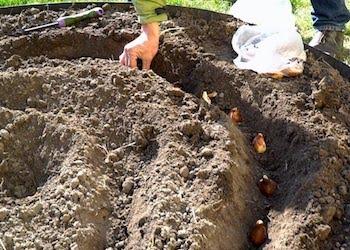 5 правил посадки луковиц тюльпанов осенью