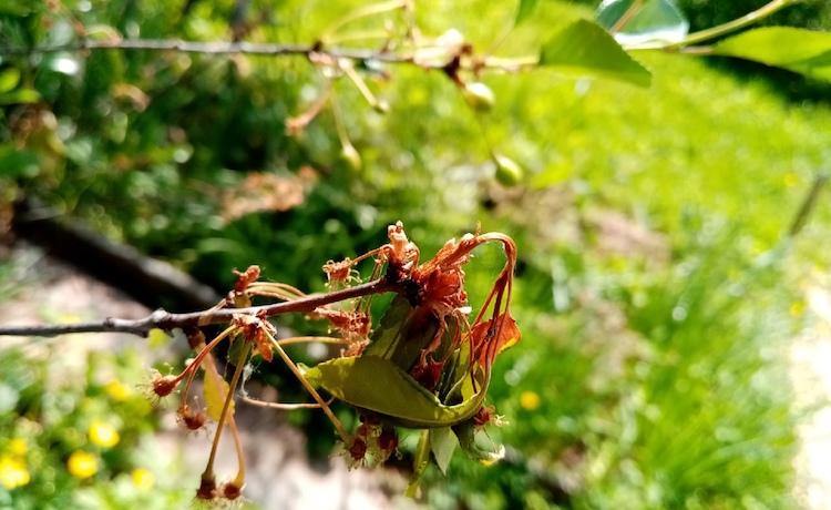 Удобрения для вишни после цветения