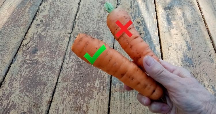 Как обрезать морковь перед хранением?