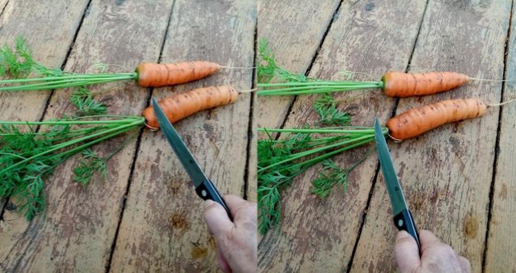 Как правильно обрезать морковь для хранения на зиму