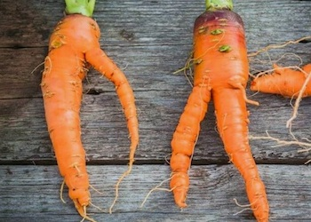 Почему морковь вырастает рогатая и корявая?
