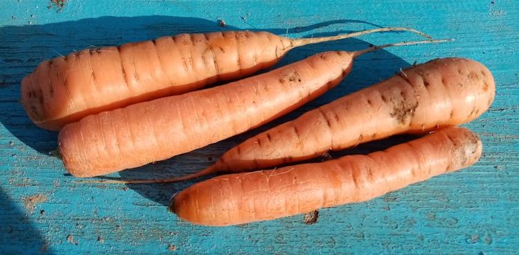Нужно ли обрезать ботву моркови перед хранением
