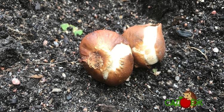 Когда сажать луковицы тюльпанов осенью в открытый грунт: сроки посадки тюльпанов в открытый грунт осенью