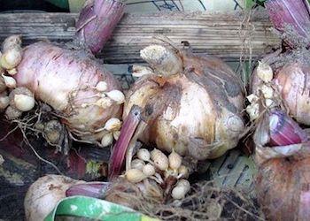 Как хранить луковицы гладиолусов зимой?