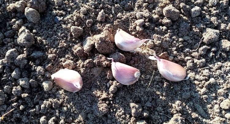 Удобрения под посадку озимого чеснока осенью
